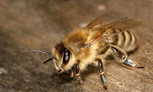 有一只蜜蜂迷路而误入厕所,所有出口都布满致命的蜘蛛网,你会选择哪种方式来应对?
