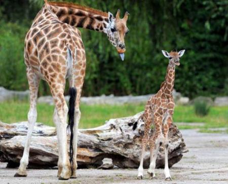 """双语:可爱小动物的""""母子情""""(组图)"""