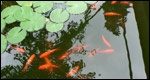 Water lilies and goldfish