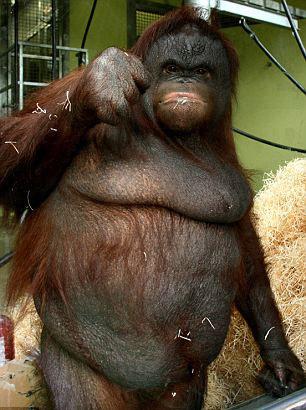 """这只名叫""""Oshine"""" 的大猩猩正在进行节食"""