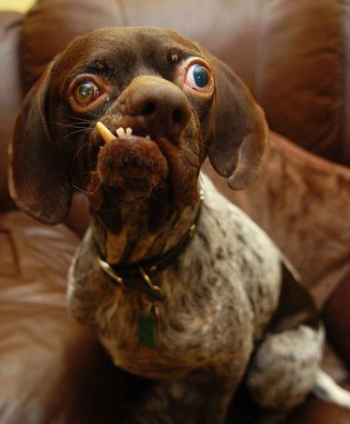 """世界各地的""""选美大赛""""评选出了 出人意料的是,这只长相丑的狗狗图片"""