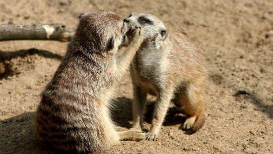 动物界的亲吻