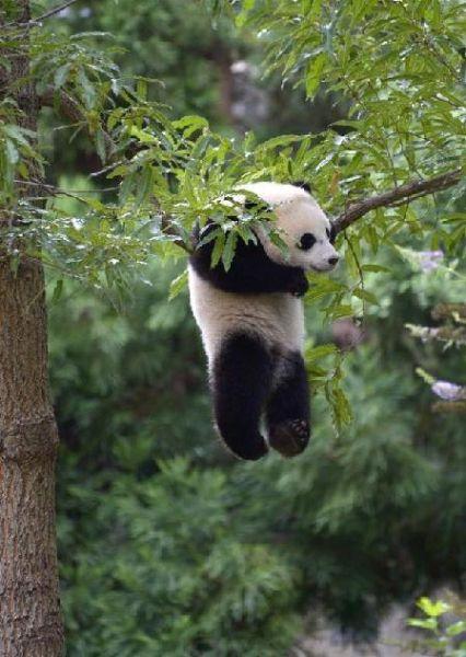 """动物园为在美大熊猫""""宝宝""""庆周岁生日(双语)"""