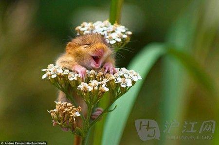 春暖花开好心情:抱着花枝微笑的萌睡鼠