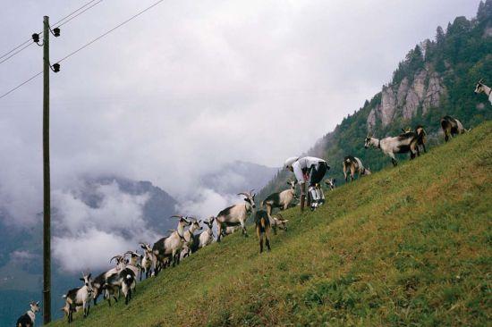 托马斯和羊群一起爬山。(网页截图)