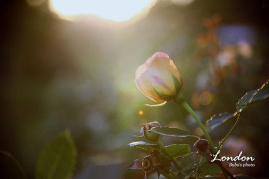 女王的玫瑰园