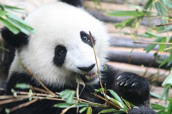 图文:《熊猫》成都行 大熊猫吃竹子
