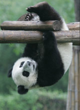 真实功夫熊猫