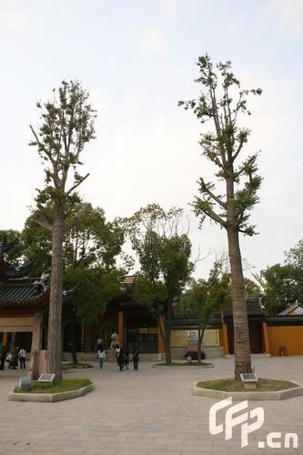 组图:伟玲不丹订鸳盟所捐姻缘树枝叶茂盛