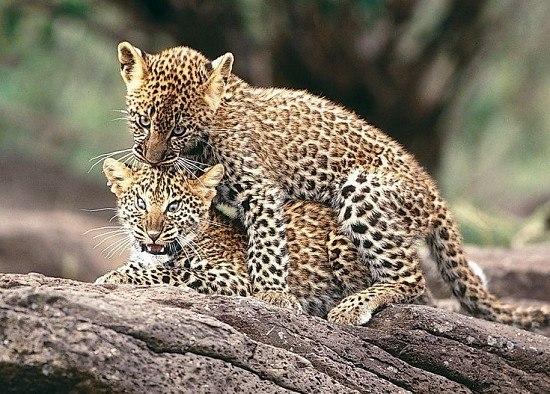 着这些大型猫科动物的生活