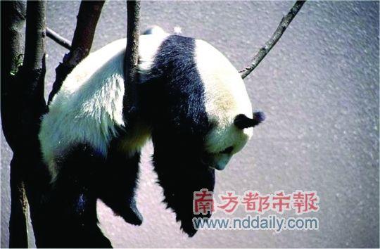 网络图集之熊猫版自挂东南枝
