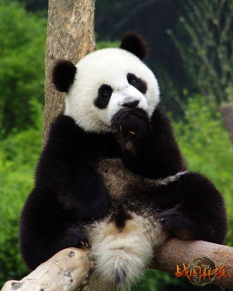 壁纸 大熊猫 动物 480_600 竖版 竖屏 手机