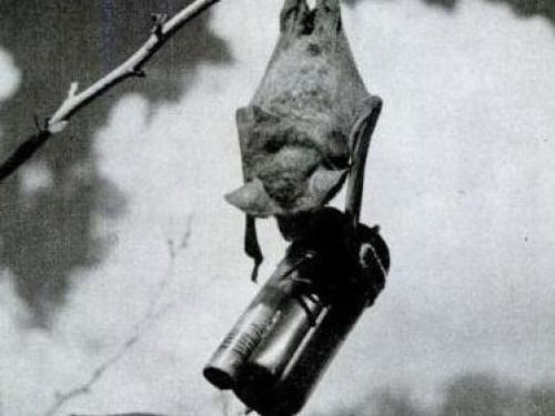 在二战时期,美军将蝙蝠打包在一个箱子里,并在它们身上安装小型的引爆装置,投落在日本上空。