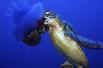 乌龟捕食有毒水母