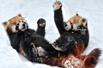 小熊猫雪地打滚
