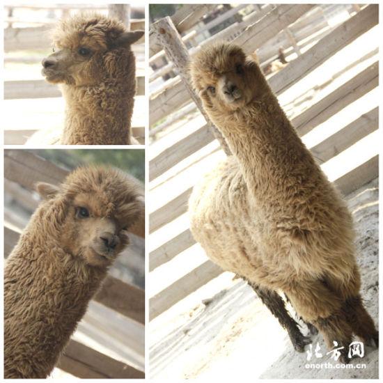 """天津动物园羊驼""""大胖""""预测欧洲杯(图)"""