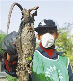 在德黑兰肆虐的巨鼠重达四五公斤。