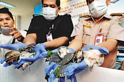 检疫工作人员展示一只猪鼻龟
