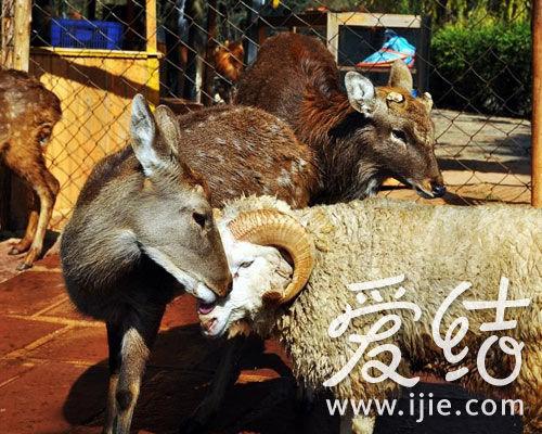 """昆明野生动物园""""羊鹿恋""""主角""""长毛""""和""""纯子"""""""