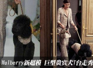 新超模巨型贵宾犬T台走秀 Mulberry玩转萌乐园