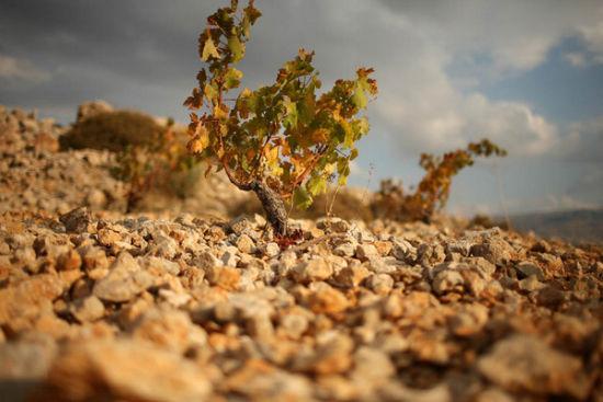 黎巴嫩Bekaa平原上Kefraya酒庄的葡萄藤
