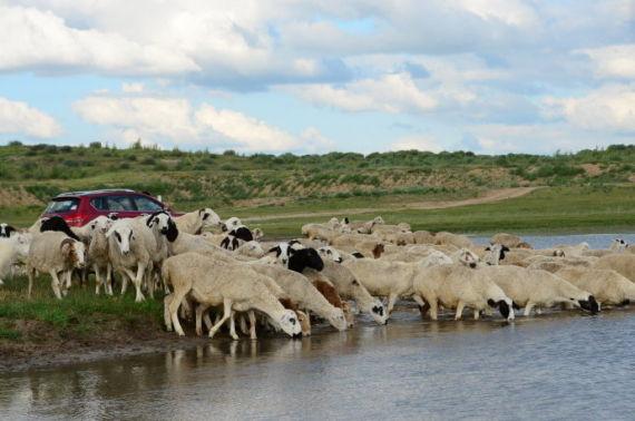 瞬间,H6都被绵羊们包围了