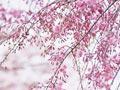 韩国四月赏花完全攻略