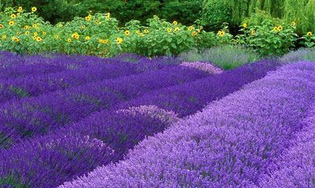 普罗旺斯:赏花须赶早