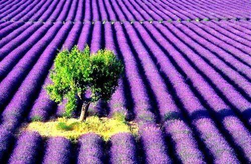 情人的天堂 浪漫的法国薰衣草