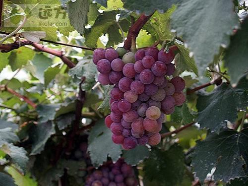今年的葡萄成熟的很好