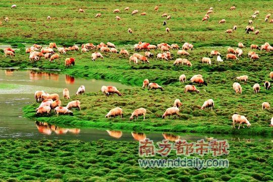 """羊群也为这片土地""""锦上添花""""。"""