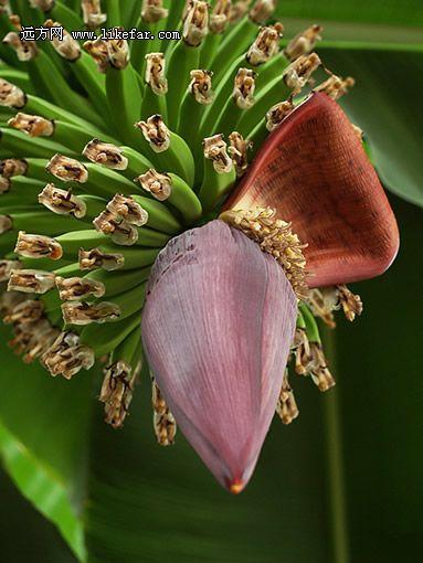 带着花瓣的香蕉 摄影:落日水溶金