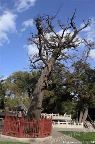 晋祠中到处是参天古木,像这样能够被围栏保护起来的至少都有千年以上的树龄