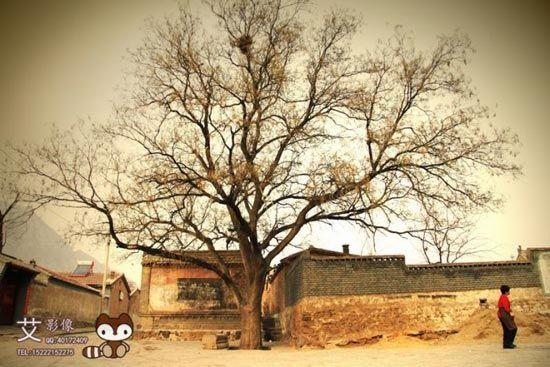 古树显示着沧桑