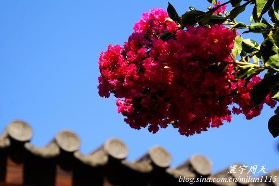 美丽的蔷薇花绽放