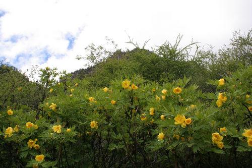 漫山灿烂黄牡丹
