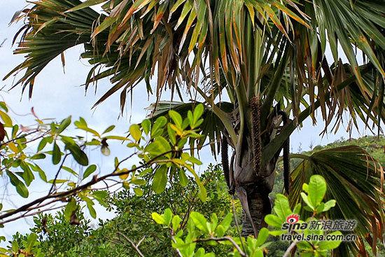 雄性海椰子(远处树上的竖直的果实)
