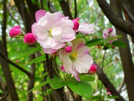张家口怀来盛开的海棠花