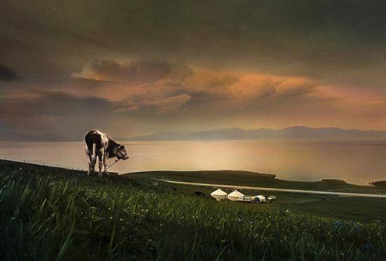 山坡上的牛