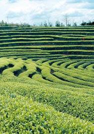 龙脊茶叶 图片来源:新浪网
