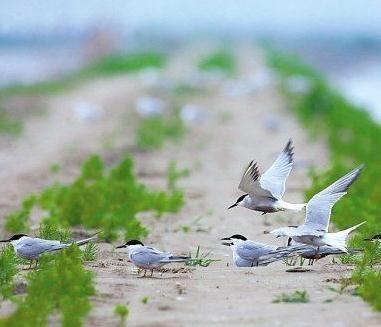 在纵横交错如阡陌般的机耕路上,燕鸥们找到了几处柔软的沙地来歇息