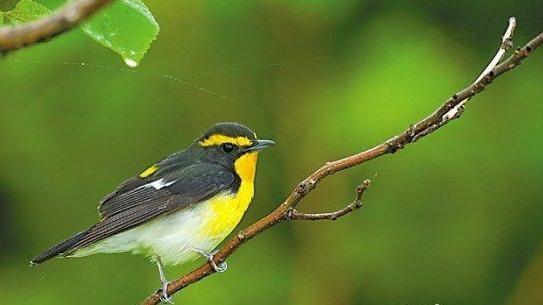 黄眉姬�l金黄色的眉部和胸喉部羽毛让它在稠密的绿色中分外显眼