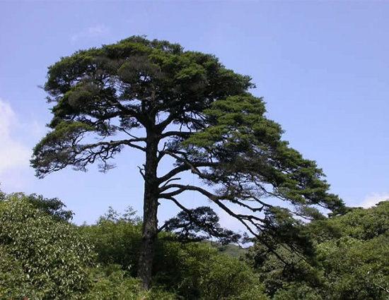 挺拔的树木 图片来源:远方网
