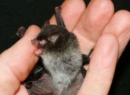 恶魔蝙蝠 最近发现的一种蝙蝠,头上和背上长满黑毛,腹部则长着白毛,这种颜色对比让它被形象地称之为恶魔蝙蝠。在9月的一篇研究论文中,科学家报告了这一发现。科学家表示,尽管拥有一个令人恐怖的名字,但这种蝙蝠却非常害羞。它们生活在越南的偏远雨林栖息地,尽可能远离人类。