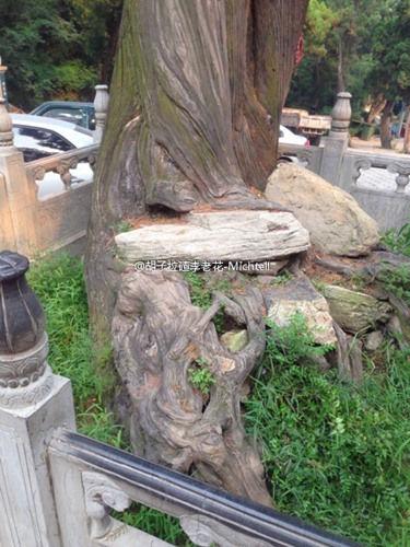 虎头柏   树干上有一个瘤球,形似虎头俯瞰来往游客,故名.