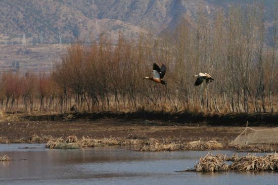 飞翔在剑湖的野鸟