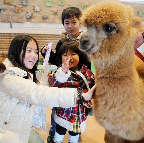 小孩子在那须动物王国与羊驼亲密接触