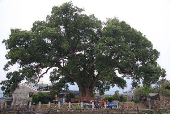 见证历史的大树