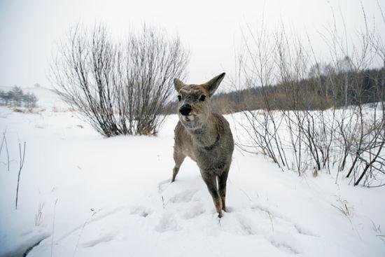 长白山最可爱的呆萌动物 家喻户晓的傻狍子