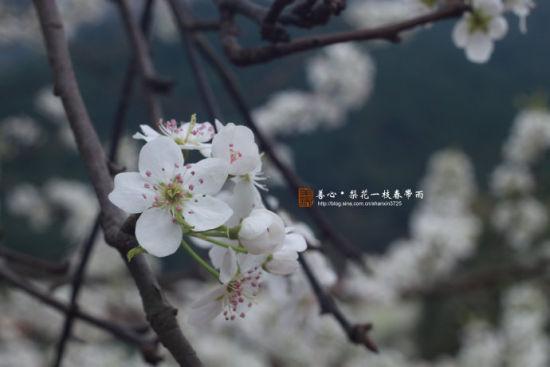 钦州梨花似雪(图/善心 新浪博客)